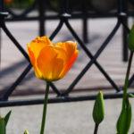 Tulipe orange devant une barrière en fer forgé noir (kiosque à musique).