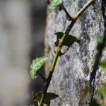 Branche de lierre devant un mur en pierre.