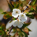 Trois petites fleurs blanches et feuilles