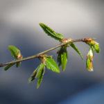 Bout d'une branche avec jeunes feuilles et bourgeons, sur fond bleu.