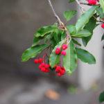 Macro. Du coin haut droit, branches avec feuilles et baies rouges.