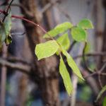 Macro. Branche avec quelques feuilles vertes. Dans le bord, quelques feuilles séchées.