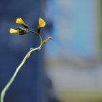 Macro. Sur fond bleuté, une tige forme un C à l'envers. Trois petites fleurs jaunes.