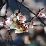 Macro. Branches entremêlées et grappe de fleurs blanches.