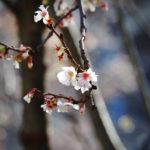 Macro. Branche d'arbre avec quelques fleurs blanches.