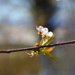 Macro. Branche avec deux petites fleurs blanches et qqs feuilles.