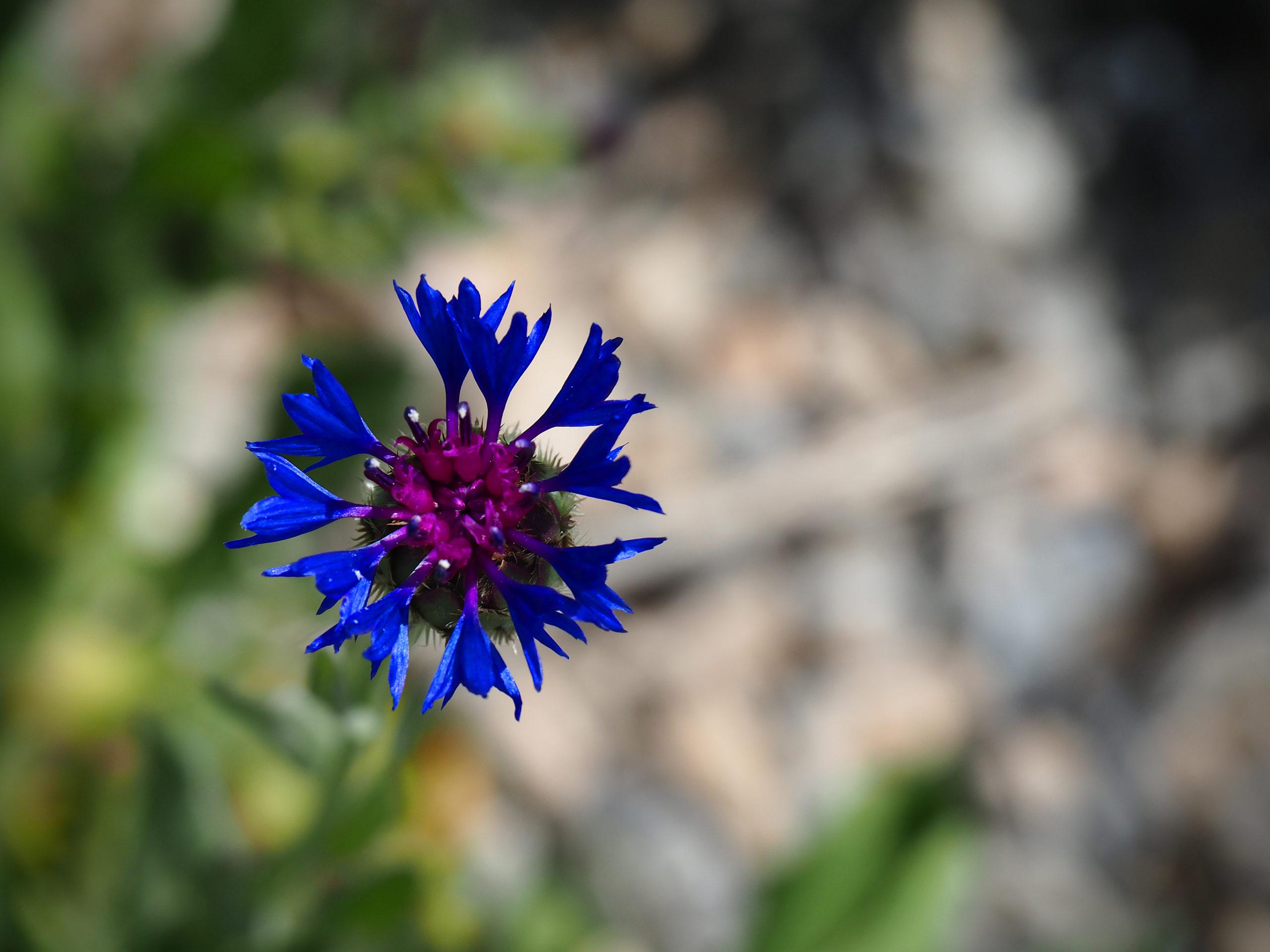 Macro. Fleur bleue, dont on ne voit pas la tige.