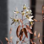 Macro. Branche avec fleurs blanches.