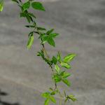 Macro. Branche de rosier, uniquement des feuilles, en diagonale de l'image.