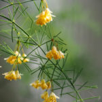 Marco. Branche, avec petites fleurs jaunes, comme des cloches.