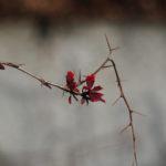 Macro. Branche cassée avec épines et quelques feuilles rouges.